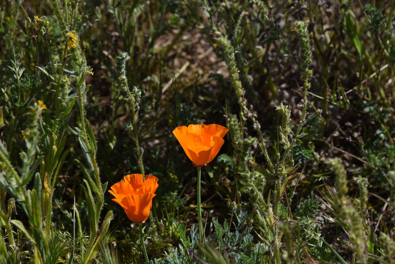 To California Poppies Beauty In Nature Blooming California Poppy Delicate Flowers Field Flower Green Color Growth Nature No People Orange Color Outdoors