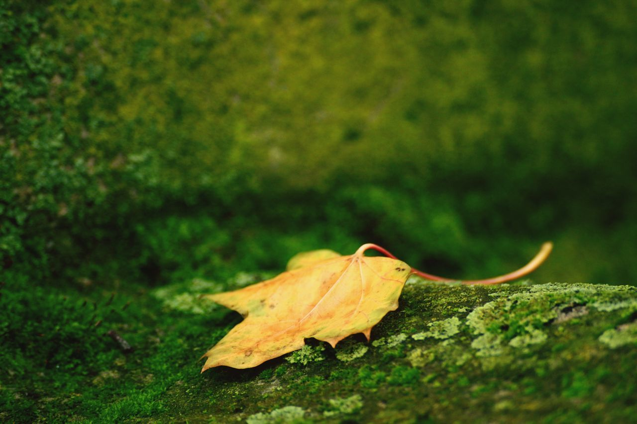 leaf, autumn, change, nature, dry, day, outdoors, fragility, green color, no people, beauty in nature, close-up, maple leaf, maple, yellow