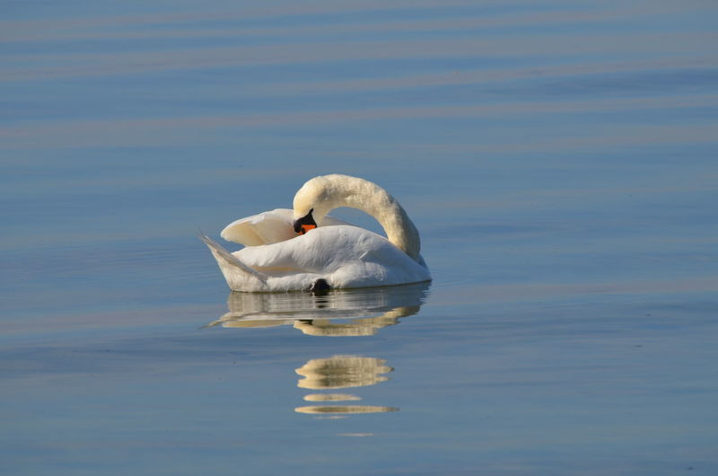 Swan Schwan In Der Ostsee Reflection Swimming Water Nature Lake Beauty In Nature Sky No People Outdoors Day Ocean Animal Wildlife Bird Animals In The Wild Reflection Water Bird Kalkhorst Baltic Sea