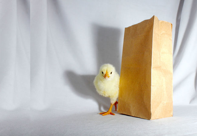Chick along side with brown eco bag. Bag Brown Bag Chick Chickens Chicks Close-up Eco Bag Feathers Focus On Foreground Fowl Hens Nature No People Paper Paper Bag Roosters White White Color