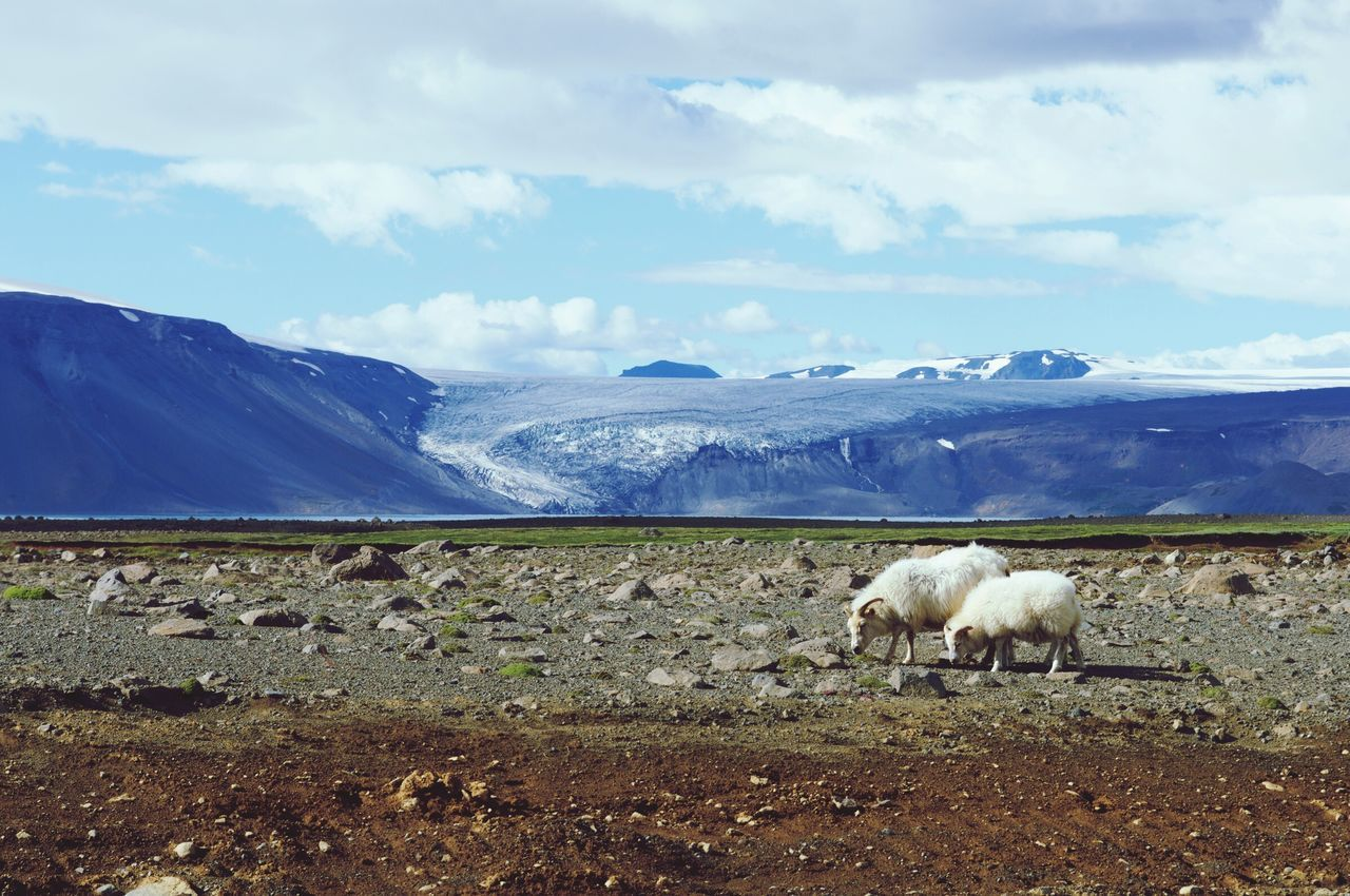Beautiful stock photos of sheep,  Animal Themes,  Beauty In Nature,  Cloud - Sky,  Day