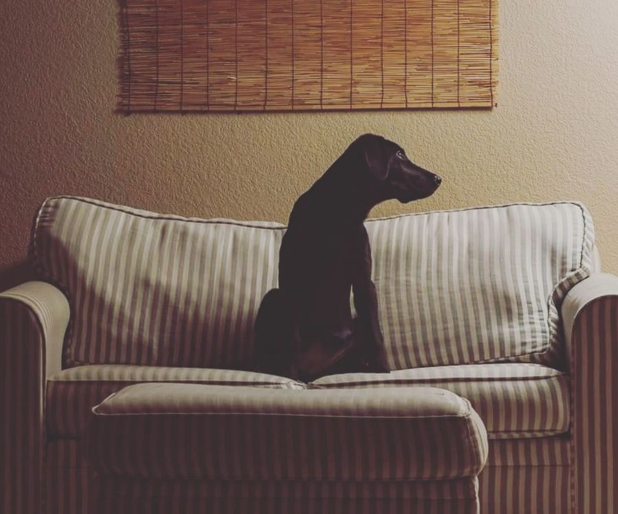 Patient puppy sits. Relaxation Indoors  No People Non-urban Scene Animal Themes One Animal Dog Puppy Photography Black Labradour