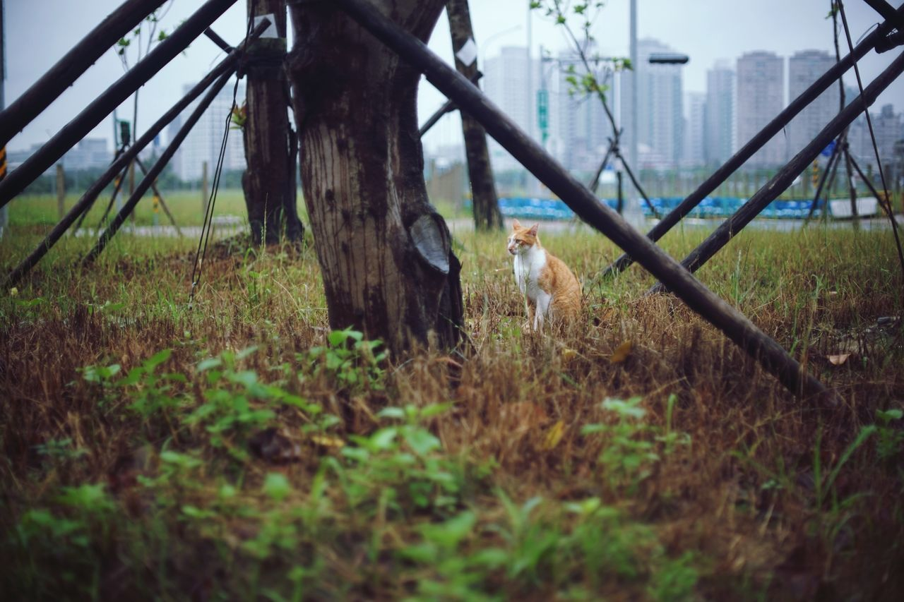 One Animal Grass Outdoors Animal Themes Mammal Pets Domestic Animals Nature Rural Scene 街貓 Animals In The Wild Feline Animal Animal Wildlife Katze Domestic Cat Ginger Cat