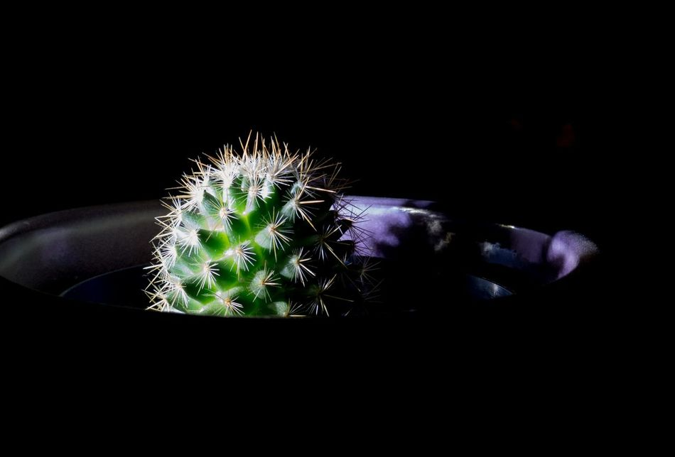 Backgrounds Black Background Cactus Close-up G Great Cactus Great Capture Growth Light And Life Low Light Cac Low Light Cactus Mammal My Cactus My Cactus Garden Nature Needle - Plant Part Night No People Outdoors Plant Spiked Thorn