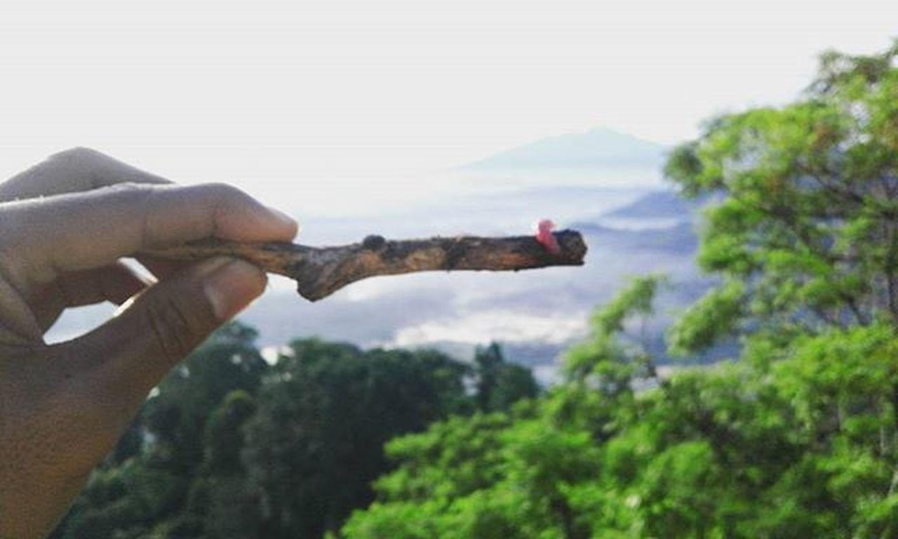Ulat Merah Muda(1). GnMunara Rumpin 9desember2015