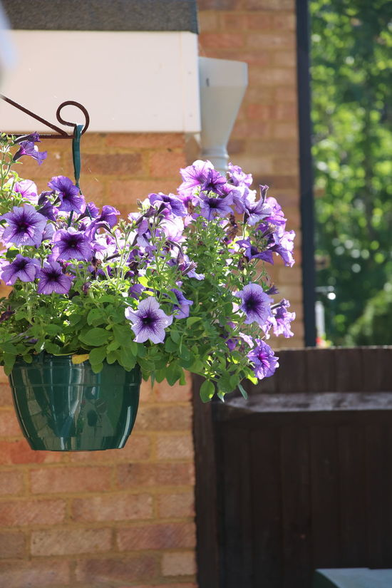 Bloom Day Flower Fragility Freshness Growth Hanging Basket Nature No People Outdoors Petunia Plant Purple