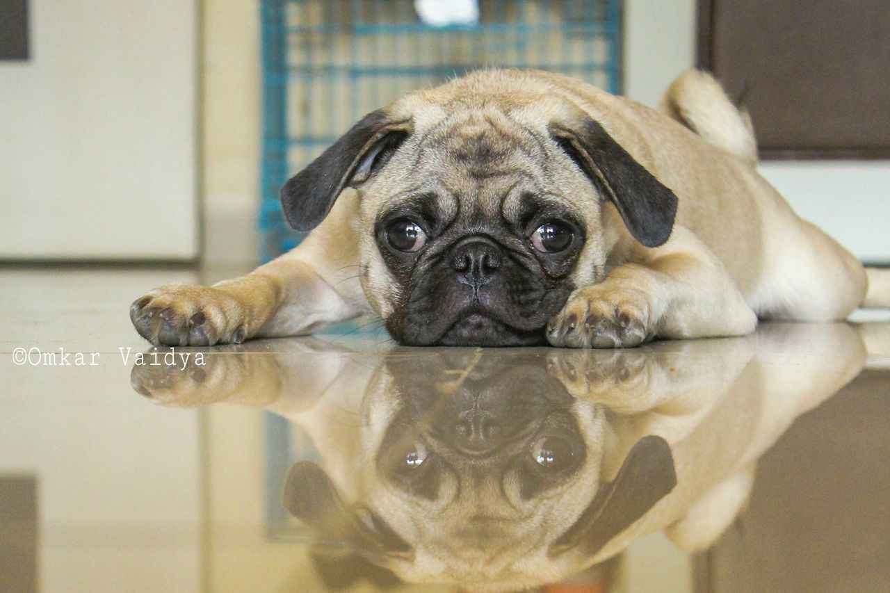 dog, pets, one animal, mammal, pug, domestic animals, indoors, close-up, animal themes, focus on foreground, portrait, looking at camera, no people, day