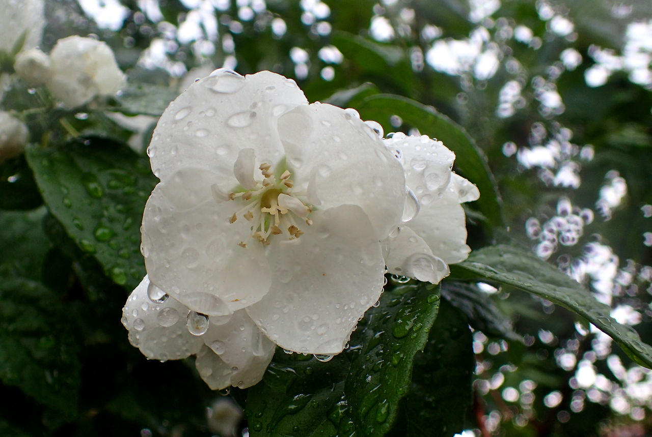 Close-up Drop Flower Flower Head Focus On Foreground Freshness Petal RainDrop Wet White Color