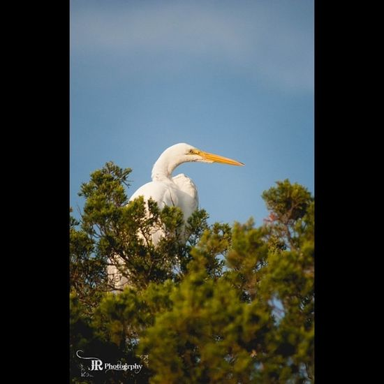GreatEgret SC Marshbirds Lowcountry PrettyBird