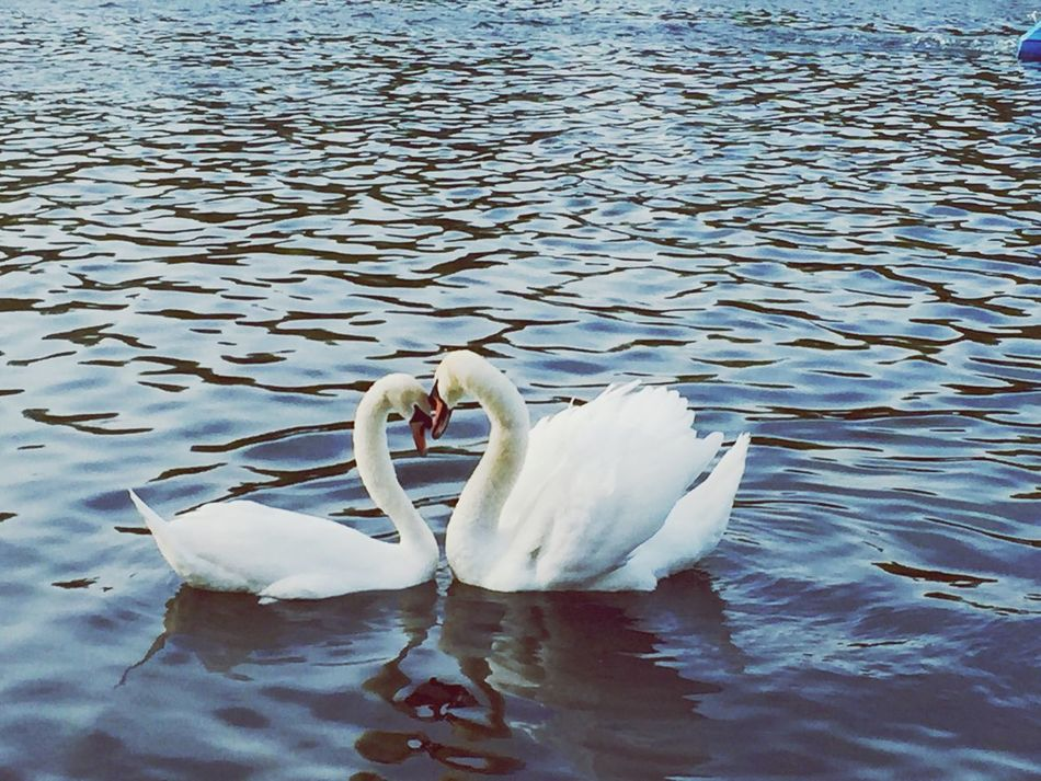 This Is LOVE. Swans. Hyde Park. London
