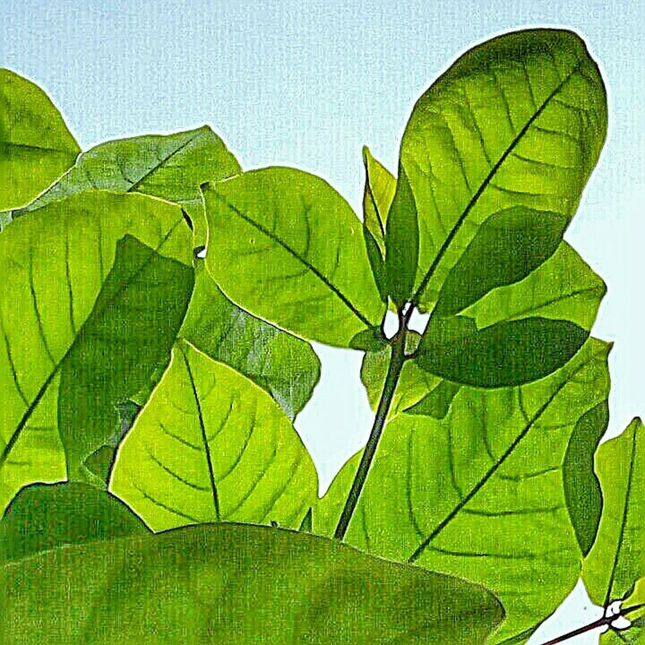 Leaf Leaf Vein Green Color Sky Nature Plant Life Green Green Green!  Botany Green Leaves Mobile Photography IMography Mobile_photographer EyeEm Nature Lover EyeEm Gallery Leafy Greens Leaves🌿 Picoftheday Leafs Photography Feel The Moment Be Happy And Enjoy The Little Things Love Without Boundaries Njoy_ur_evening To My Friends That Connect With Love From India💚 truly...urs... Nitin