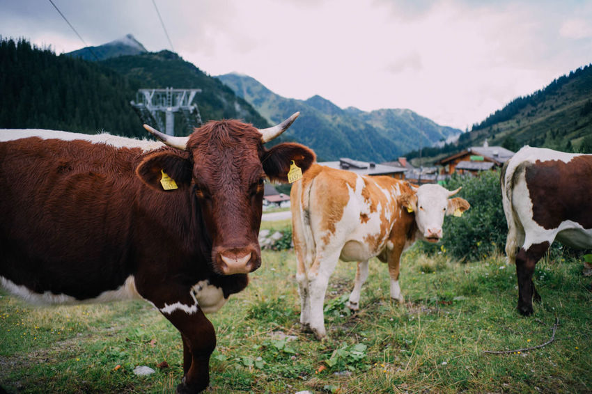Adventure Alps Animal Themes Austria Austria Mountains Austrian Alps Cattle Cow Cow Close Field Grass Grazing Livestock Mountain Mountain Range Mountain View Mountains Mountains And Sky One Animal Standing Two Animals
