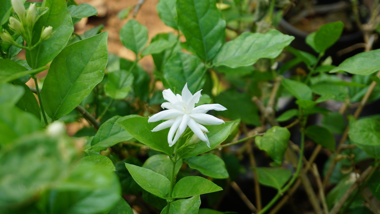 """Queen """" Jasmine"""" * Leaf Fragility Green Color Nature Growth Close-up Beauty In Nature Plant Flower No People Freshness Flower Head Outdoors Day Jasmine Jasmine Flower Jasmine Collection Jasmine Blossom SonyAlpha6000 Sony A6000 Nwin Photography White Jasmine Aroma Aromatic Flowers Romantic Mood"""