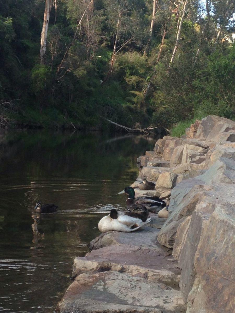 Yarra River Ducks Warrandyte