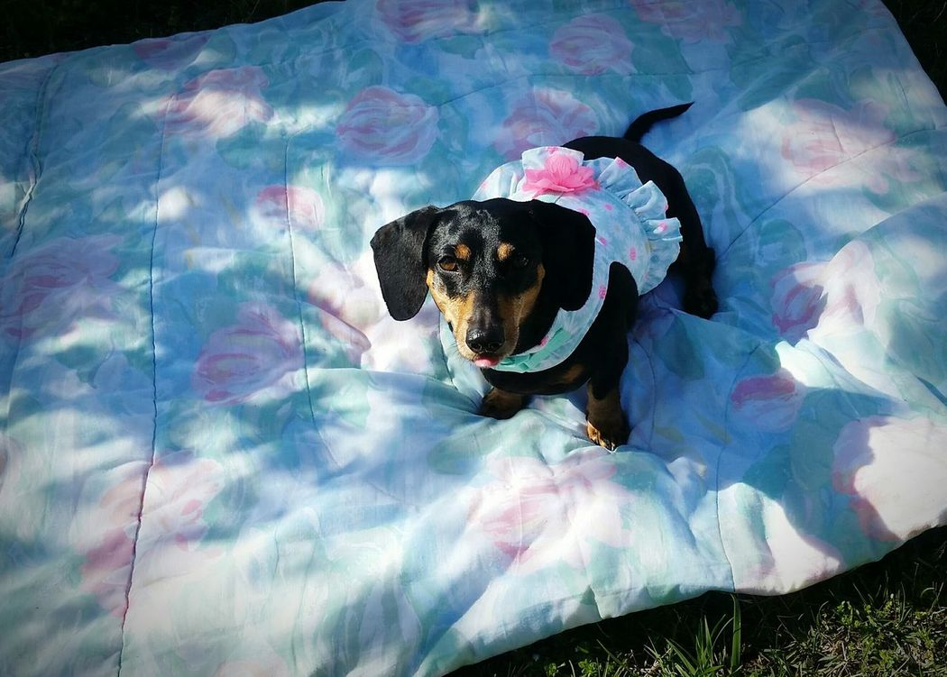 Abagail <3 Springtime Outdoors 2017 Weekend Pretty♡ Angel Doxie Doxie Moxie Dog❤ Easy Like Sunday Morning