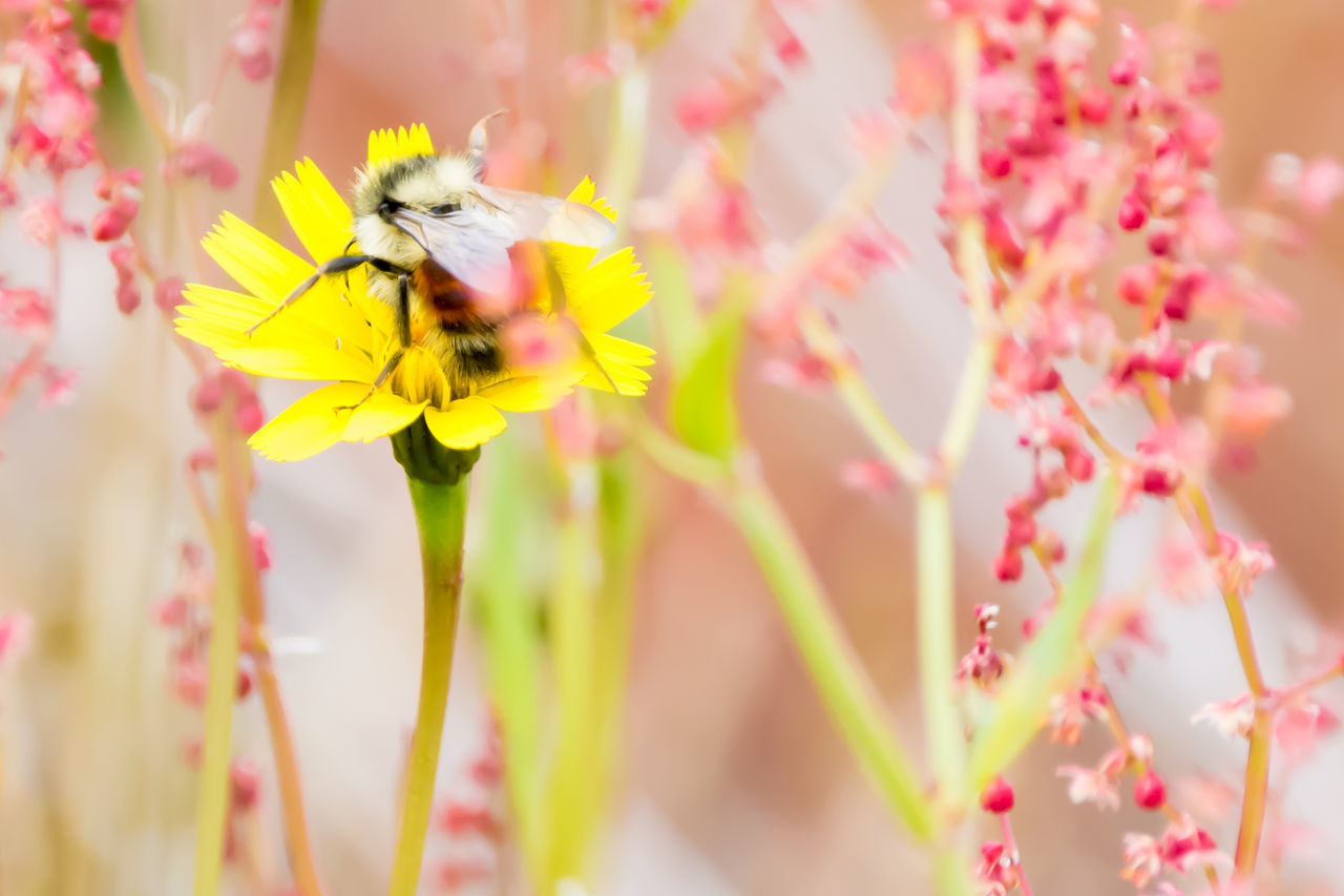 flower, insect, fragility, one animal, petal, animal themes, animals in the wild, bee, nature, freshness, beauty in nature, animal wildlife, pollination, growth, yellow, day, no people, close-up, plant, outdoors, flower head, buzzing, bumblebee
