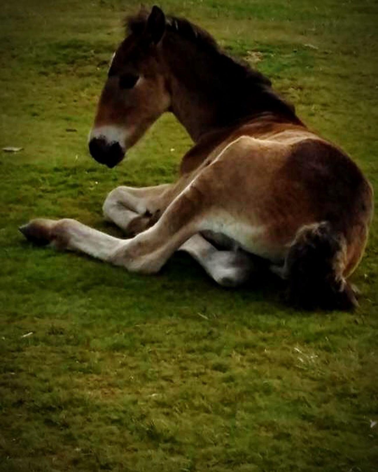 Pretty moorland foal Horses Pony Foals Grass Cornwall Bodmin Moor Moorland Animals Nature