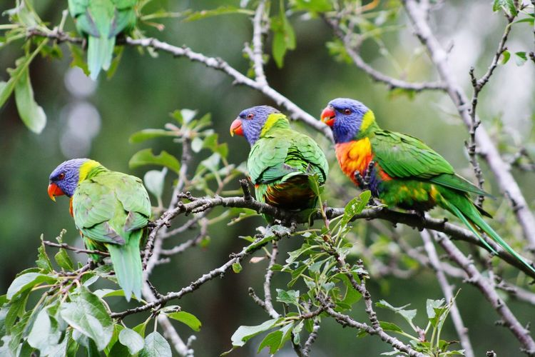 Bird Photography Rainbowlorikeet Colours Australia