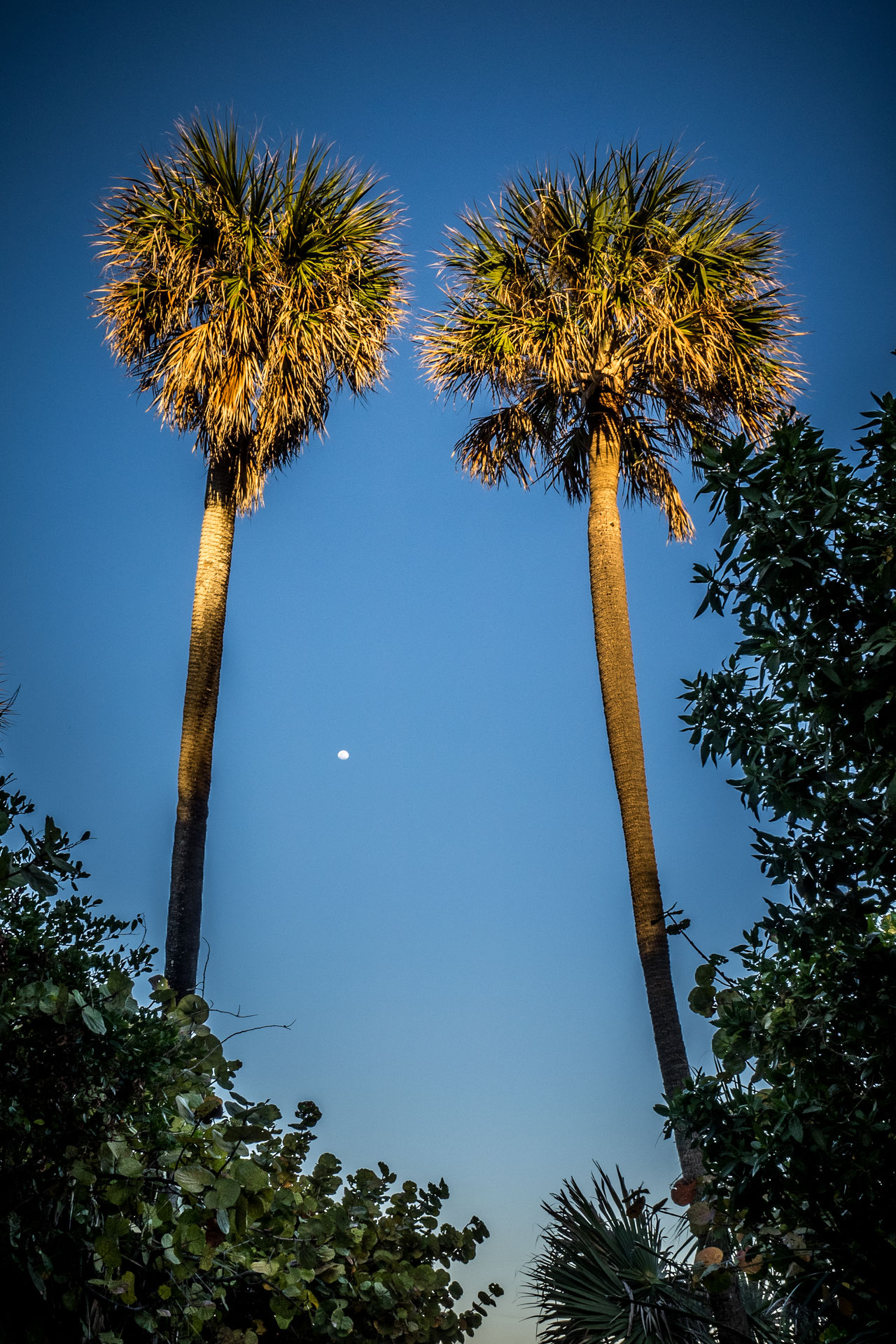 Beach and Palms and Moonlight Beach Beautiful Beauty Beauty In Nature Blue Clear Sky Day Dream Your Dream Florida Fly Me To The Moon Growth Low Angle View Moon Moonlight Palm Tree Sail Away Scenics Sky Sundown Sunset Tranquility Tree Tree Trunk