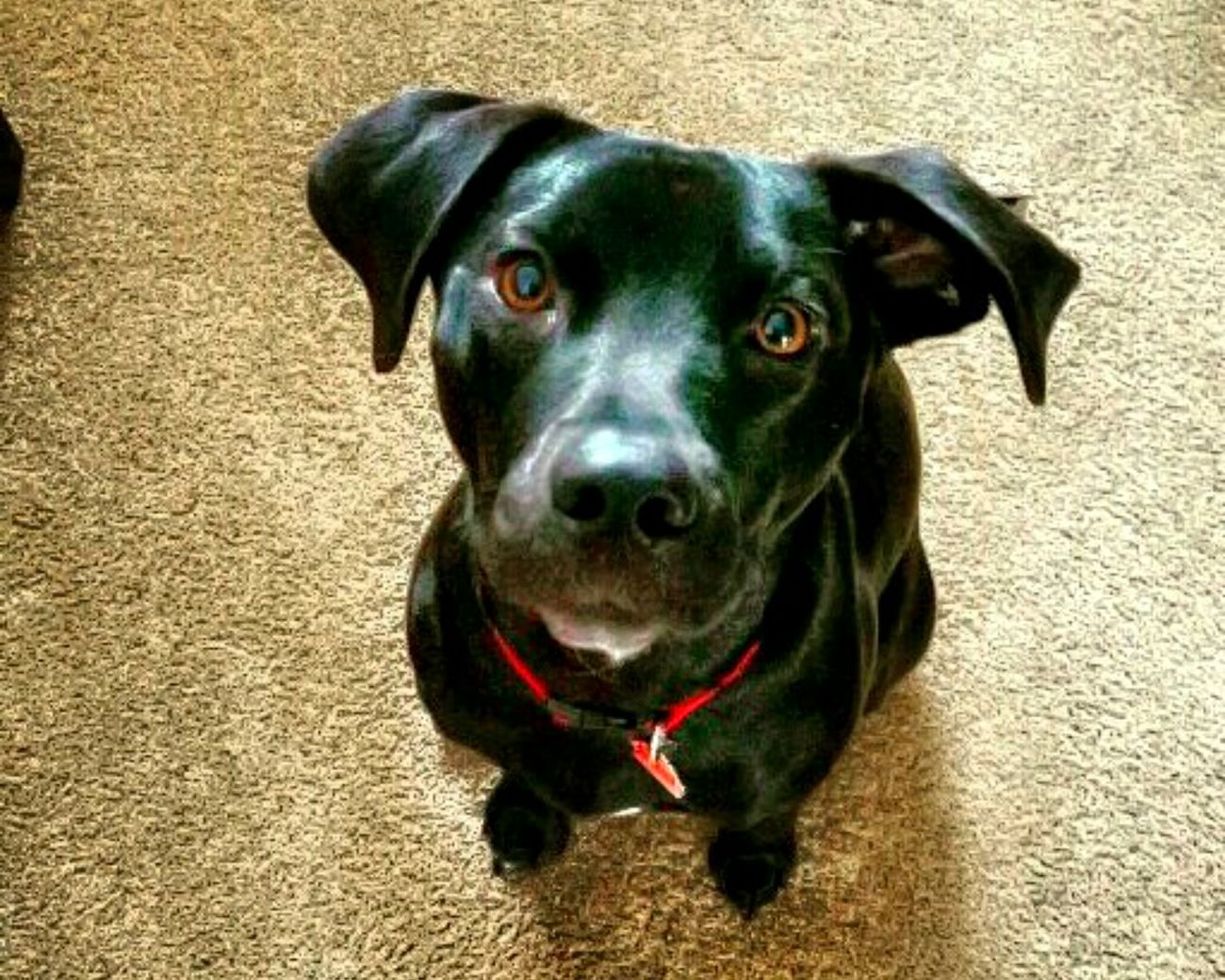 Looking At Camera Pets Dog Domestic Animals Black ColorPortrait Black Labrador Friends ❤ Puppy Love One Animal Animal Themes Mammal No People Day Close-up Dogs Outdoors Buddiesforlife Snugglebuddy