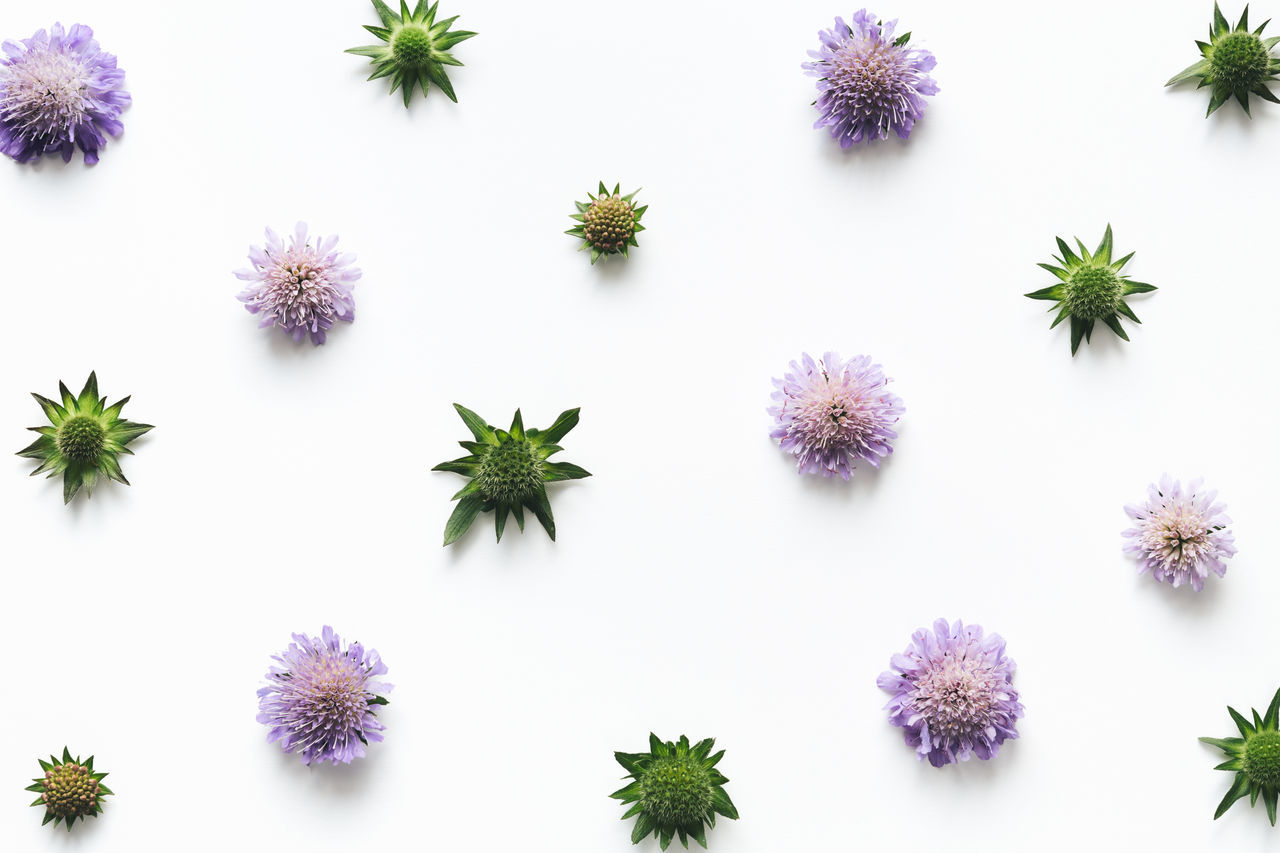 Purple meadow flowers (field scabious) arrangement on white background. Above Arrangement Backgrounds Beauty In Nature Blossom Close-up Composition Floral Floral Pattern Flower Flower Head Fragility Freshness Full Frame Meadow Nature Pattern Plant Purple Studio Shot Summer White Background White Color