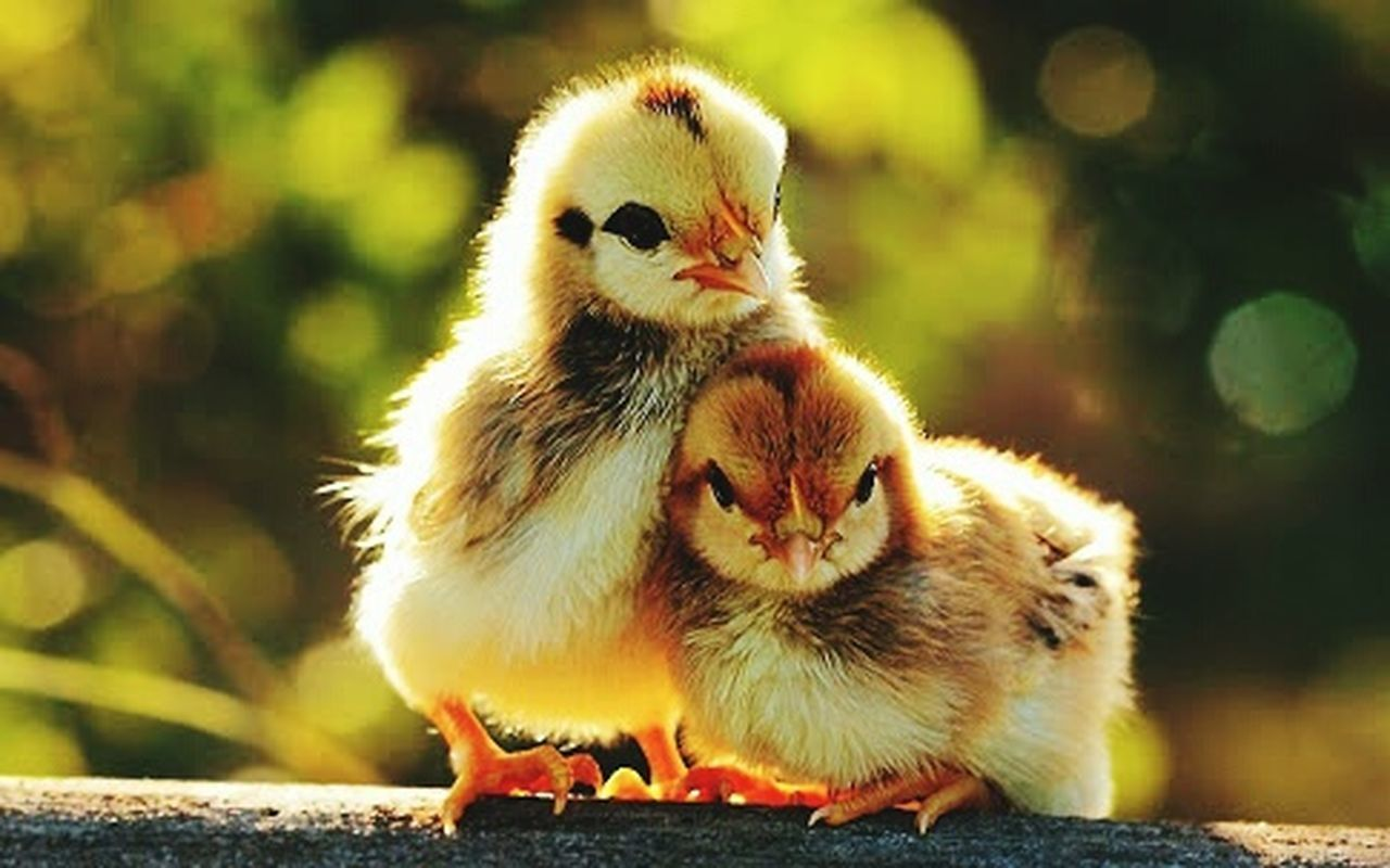 chicken - bird, bird, domestic animals, young bird, livestock, animal themes, baby chicken, outdoors, no people, young animal, nature, day, close-up