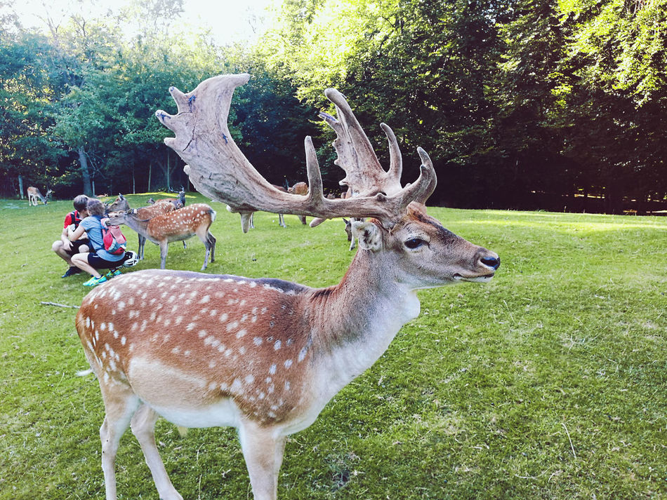 Animal Antler Stag Deer Animal Themes Tree Grass Animals In The Wild No People Outdoors Day Deer Wildlife & NatureGrass Scenics One Animal Wildlife Photography Wild Wild Animal Park Wild Animal Wildlife Roe Deer Landscape Adventure Travel