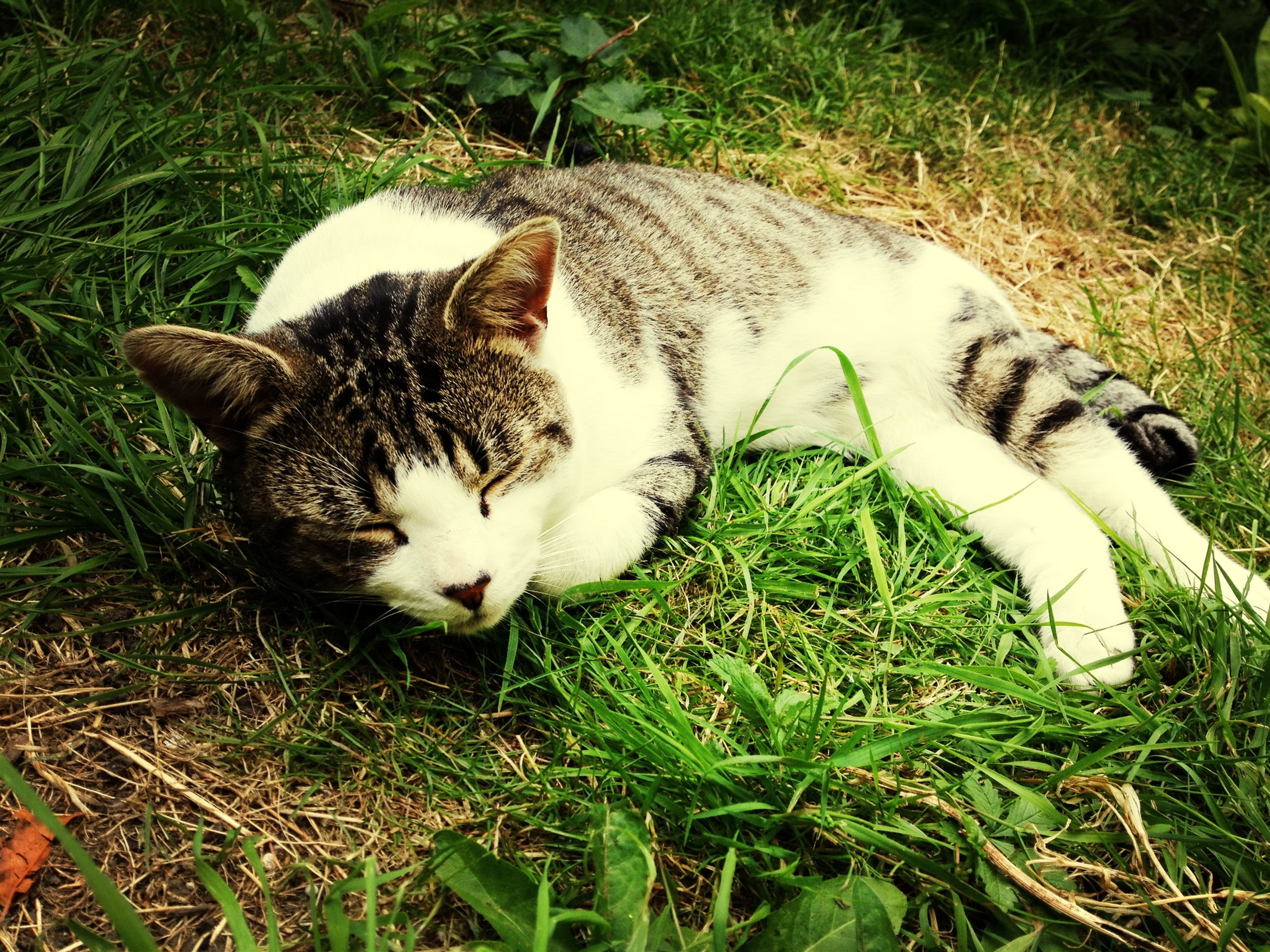 domestic animals, pets, domestic cat, animal themes, one animal, mammal, grass, cat, feline, grassy, field, relaxation, lying down, high angle view, resting, whisker, plant, day, white color, no people