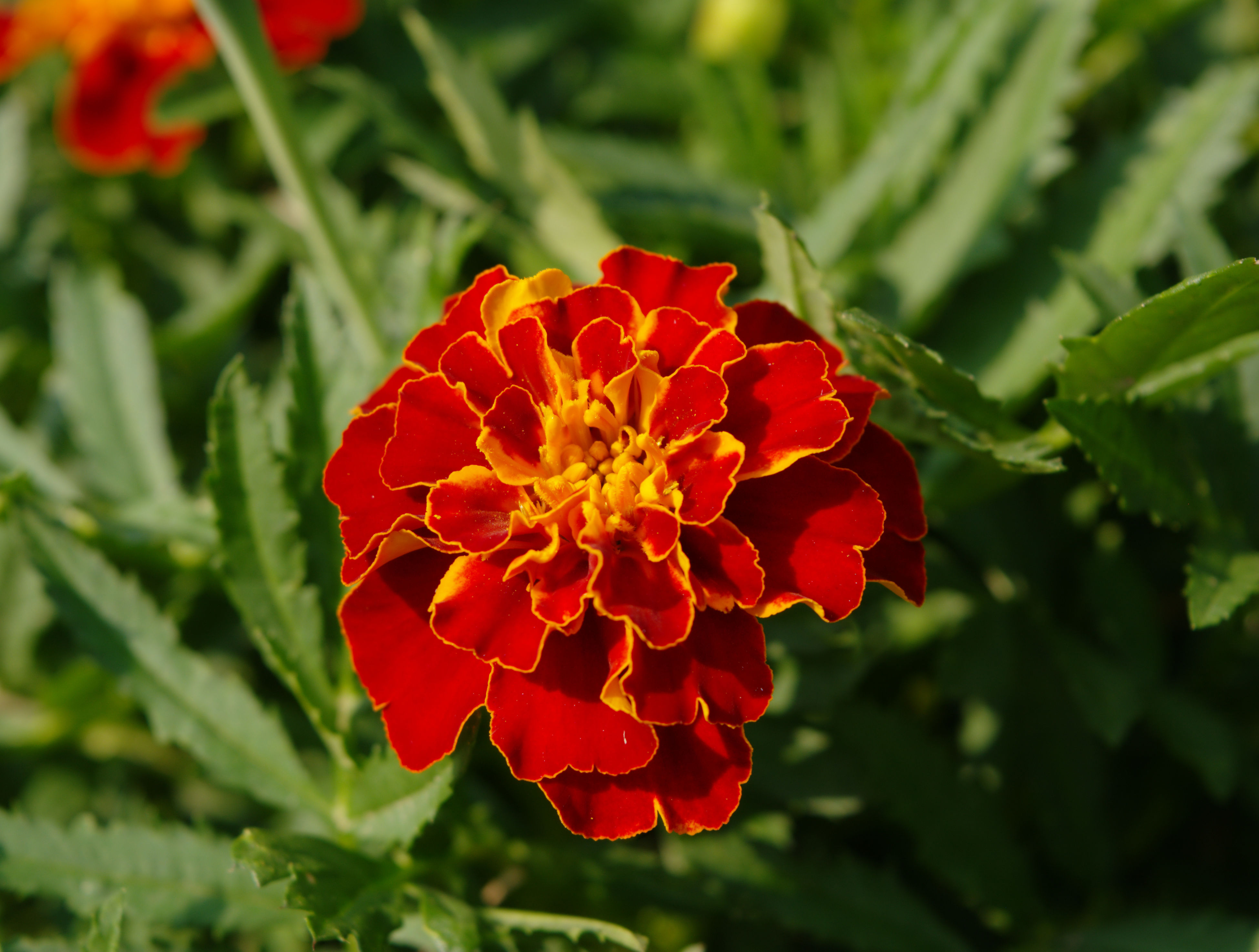 flower, nature, freshness, fragility, red, beauty in nature, growth, petal, blooming, flower head, plant, no people, close-up, outdoors, day
