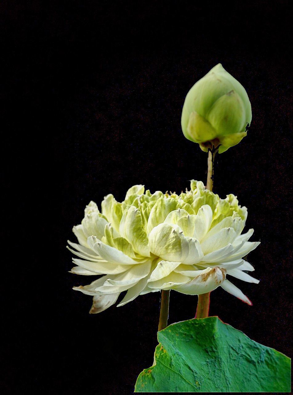 flower, fragility, petal, flower head, beauty in nature, freshness, nature, white color, no people, black background, close-up, studio shot, growth, green color, rose - flower, plant, blooming, leaf, indoors, day