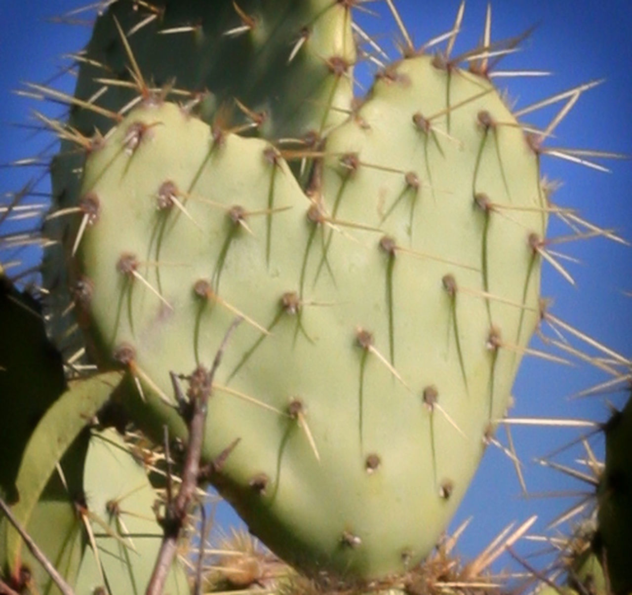 Arid Climate Beauty In Nature Cactus Cactus Heart Close-up Danger Day Desert Flower Focus On Foreground Green Color Growth Heart Heart Shape Nature No People Outdoors Plant Prickly Pear Cactus RISK Saguaro Cactus Sky Spiked Thorn Uncultivated