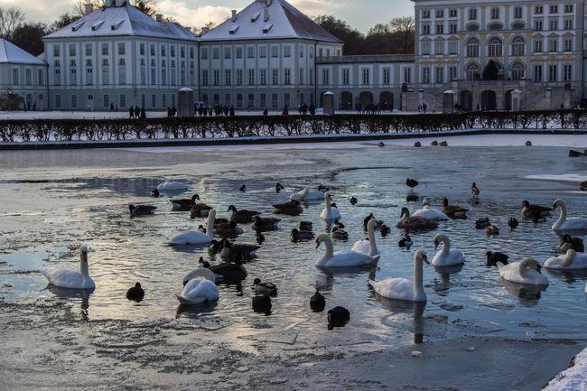 Bird Bird Photography Birds Duck Ice Lake Nymphenburg Nymphenburg Palace Nymphenburger Kanal Snow Snow ❄ Swan Swans ❤ Water Winter Shades Of Winter