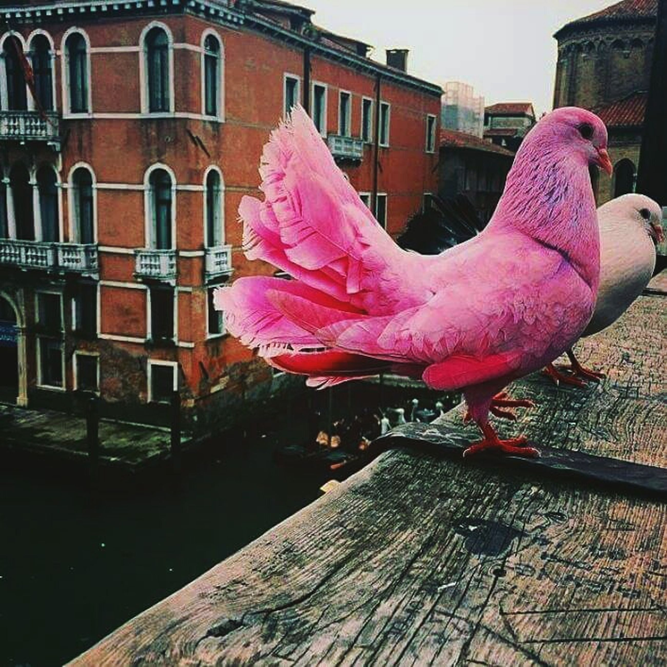 building exterior, built structure, architecture, pink color, outdoors, day, house, sunlight, city, water, building, no people, street, sidewalk, railing, residential structure, flower, animal themes, side view, bird