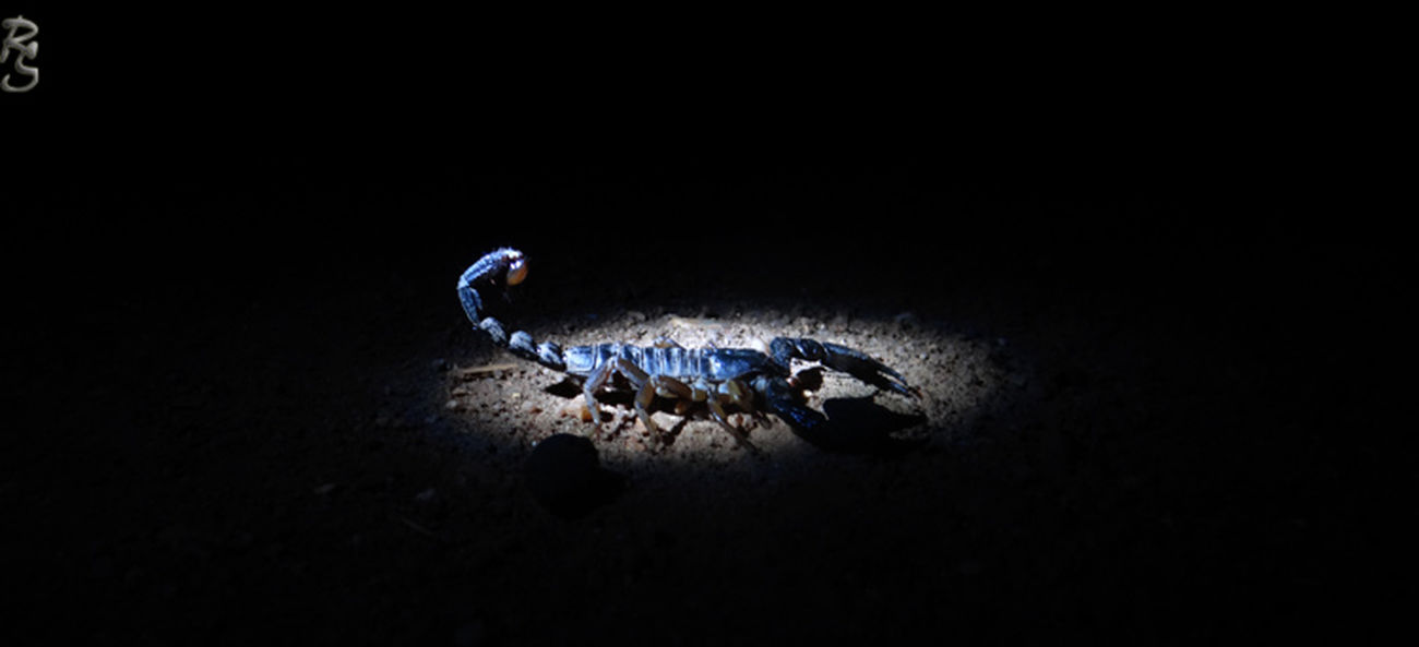 Insects  Scorpion
