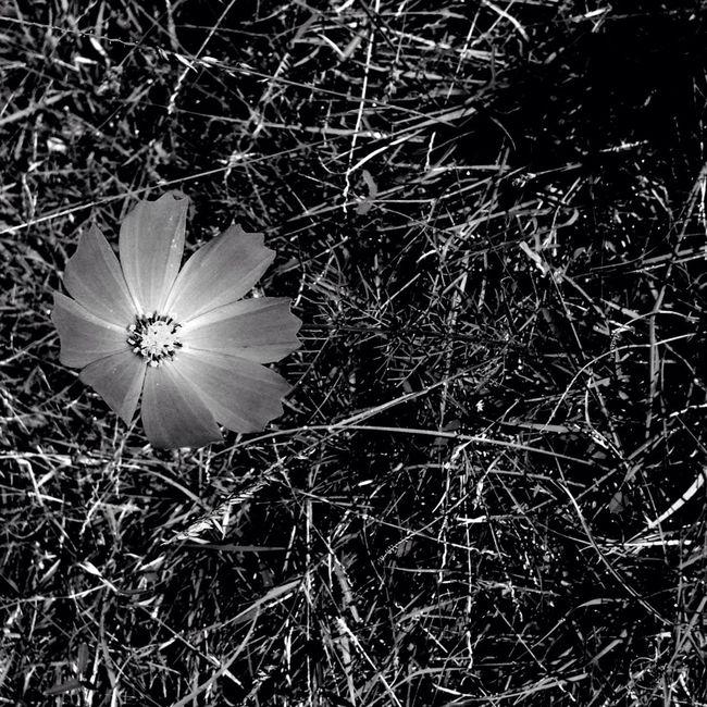 Amapolita plateada EyeEm Best Shots - Black + White NEM Black&white Monochrome EyeEm Best Shots Nature_collection Flower Porn
