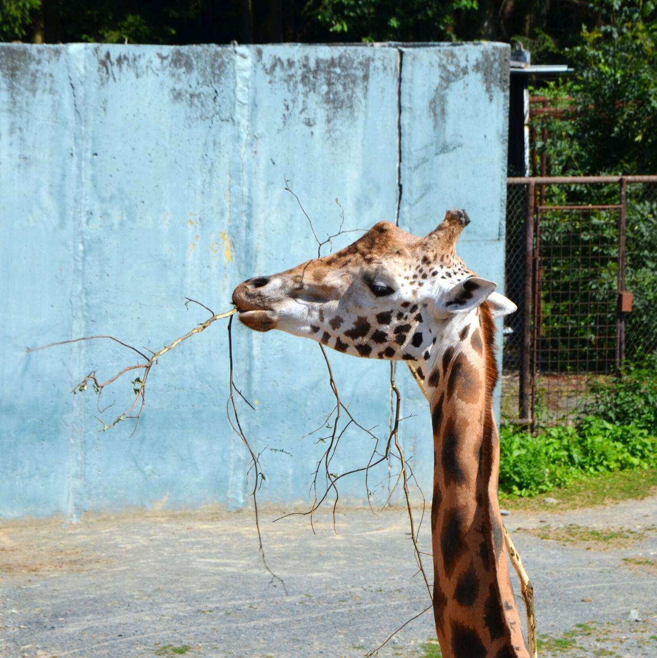 Giraffe Eating Branch Zoo Animal Capture The Moment Nature Long Neck  Neck Animals Animal_collection Animal Photography