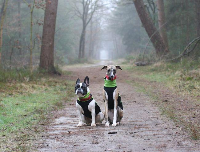Dogs Französische Bulldogge  Frenchbulldog Friends Friendship Hunde Hundefreundschaft