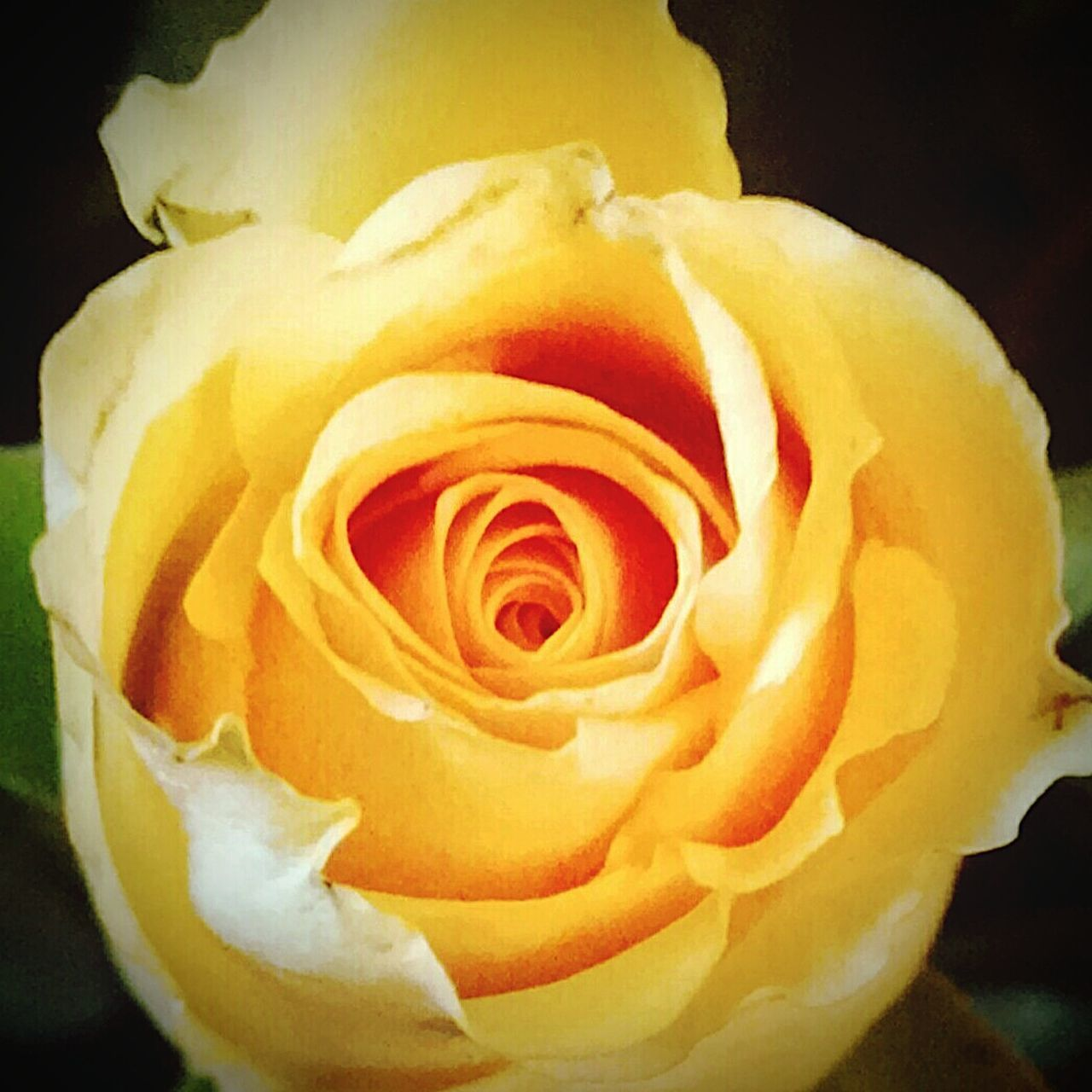 Flower Collection Flowers,Plants & Garden Yellow Rose Early Bloom Weekend ♥