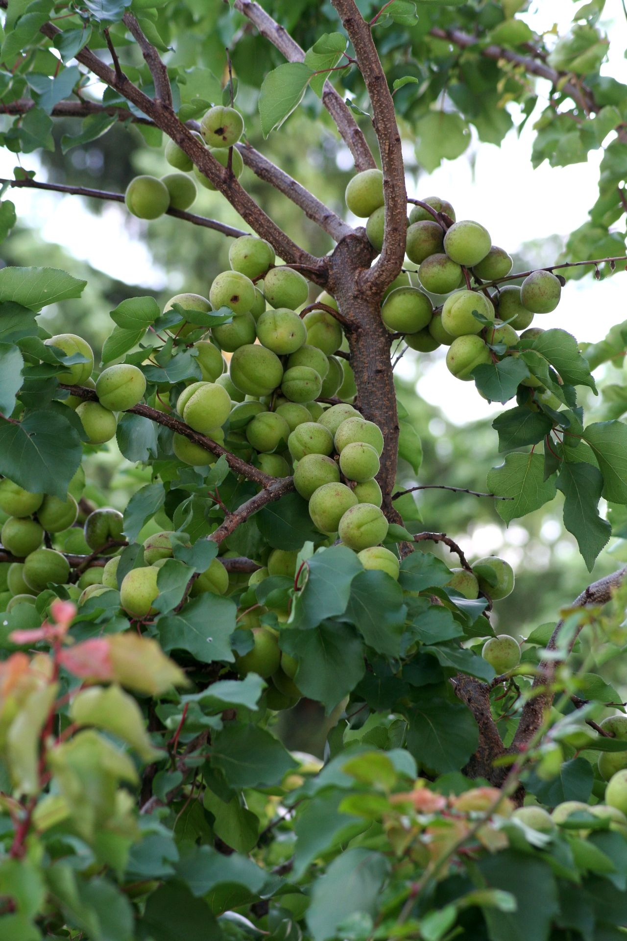 Abundance Agriculture Apricot Apricot Tree Branch Bunch Food Food And Drink Freshness Fruit Fruit Tree Green Color Green Fruit Growth Hanging Healthy Eating Healthy Lifestyle Immature  Raw Ripe Selective Focus Sky Tree Unripe Unripe Apricot