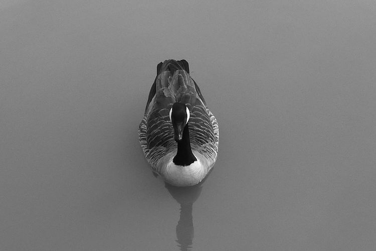 Front View Full Length Goose, Still Wate, Monochrome Motion Reflection Water Wet