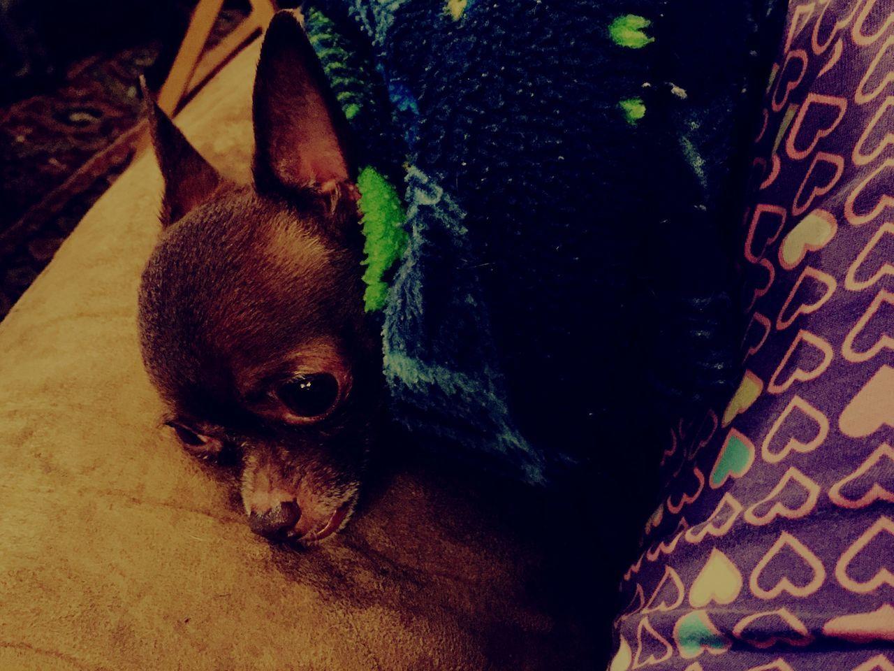 Chihuahualovers Chihuahua Chihuahua Love ♥ Chloe ❤ My Baby Girl <3 Dogs Snugglebuddy Adult Tinydog