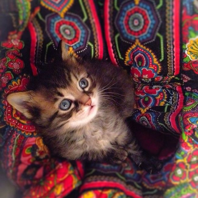 NAHLA NewAddition Cutey Kitten Cats Catsofinstagram Family Baby Pet Instagram Instagramer Instapets Domesticanimal Thecatawards Posing Beingherself Littleangel Domestic Animal Domestic Cat Cat Lovers Catstagram