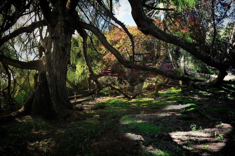 Ancient Trees (C) StevenAllanImages The Essence Of Summer Enjoying The Sun Tree Magical Forrest Photography Dappled Dappled Light Woodlands Nature
