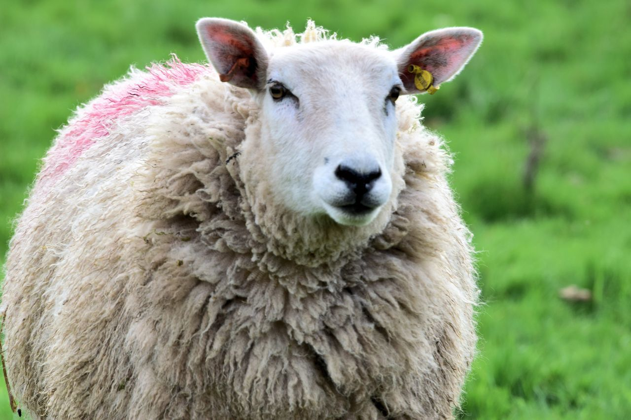 livestock, animal themes, domestic animals, mammal, one animal, sheep, focus on foreground, day, grass, outdoors, lamb, wool, no people, close-up, portrait, looking at camera, field, young animal, nature, domesticated animal tag