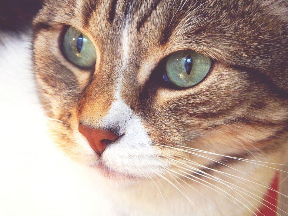 ▫Lilù▫🐾 Meow🐱 Cat Eyes Cat Animal Love Gattina Occhiverdi Musettodolce Pestifera Green Eyes Arrr!