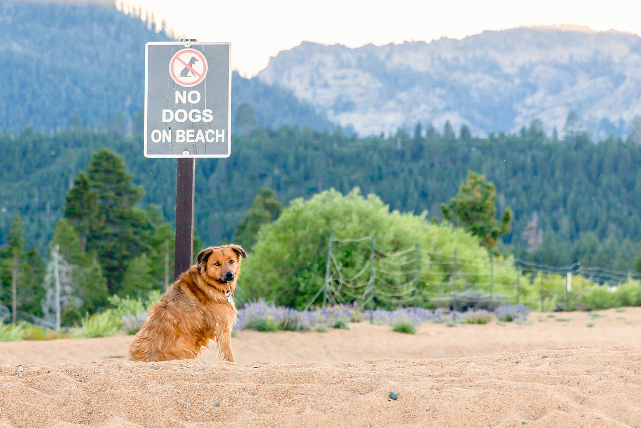 Dog ignores no dogs allowed sign Animal Animal Themes Beach Beauty In Nature Day Dog Ironic  Lake Tahoe, Ca Looking At Camera Mammal Mountain Nature No Dogs Allowed One Animal Outdoors Pets Retriever Sitting