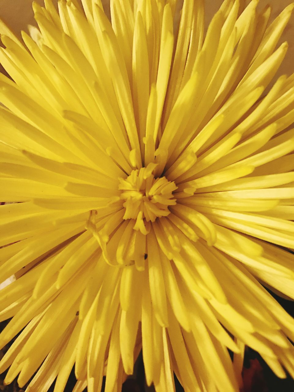 flower, yellow, petal, fragility, full frame, freshness, flower head, beauty in nature, close-up, nature, backgrounds, growth, no people, plant, blooming, day, outdoors