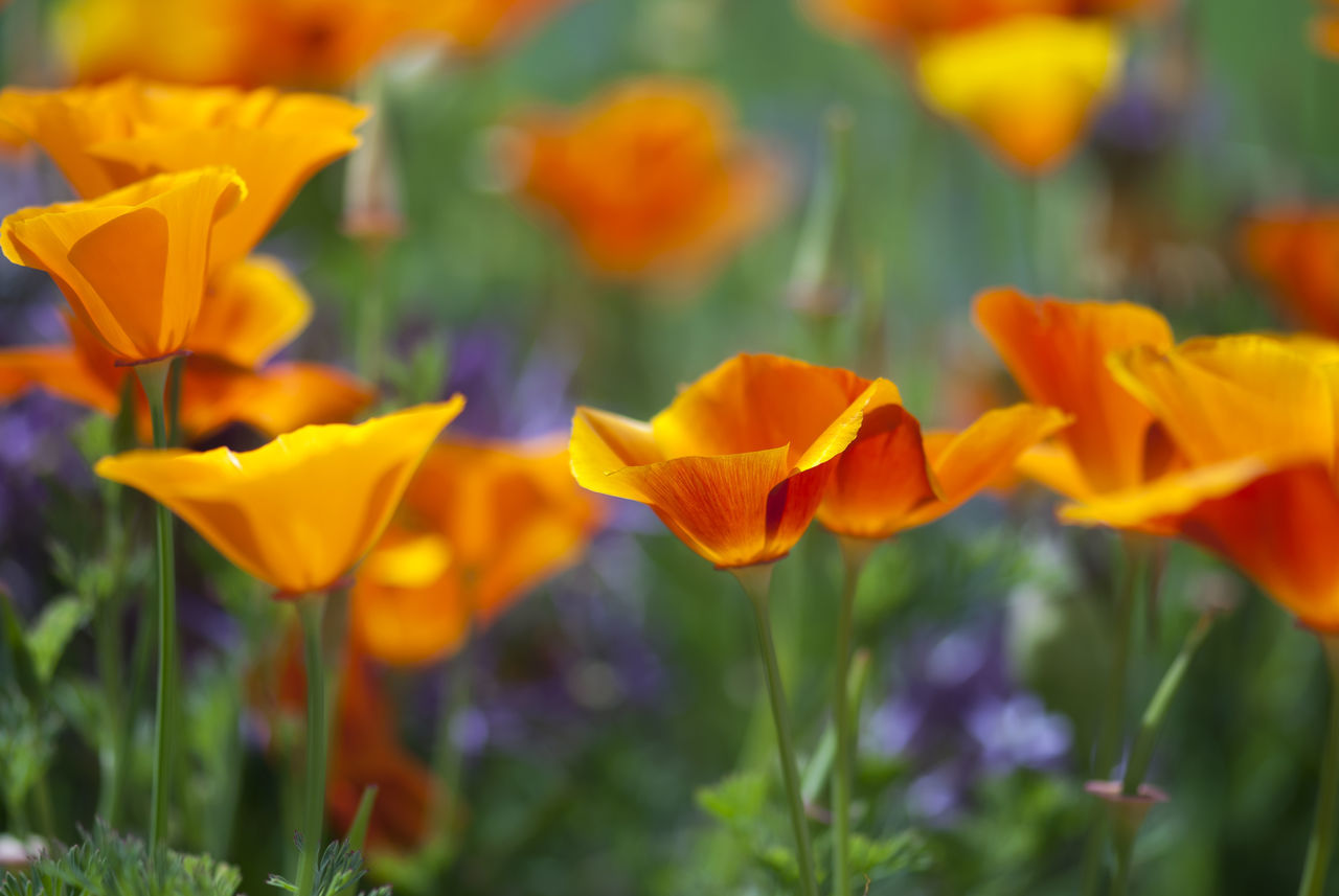 Orange California poppies bloom on a spring afternoon. Bloom Botanical California Colorful Colors Field Flora Floral Flower Green Meadow Native Natural Nature Orange Plants Poppies  Poppy Purple Red Vibrant Vivid Wild Wildflower Yellow
