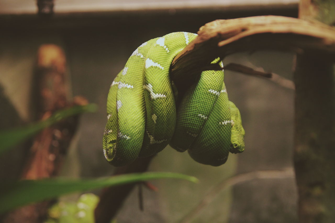 Beautiful stock photos of snakes,  Animal Themes,  Animal Wildlife,  Beauty In Nature,  Branch