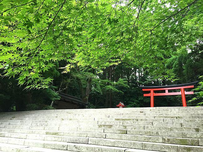 霧島神宮 霧島 鳥居 階段 Shrine Kirishimashrine Kirishima Steps Stairs Japanesemaple Maple もみじ 椛 新緑